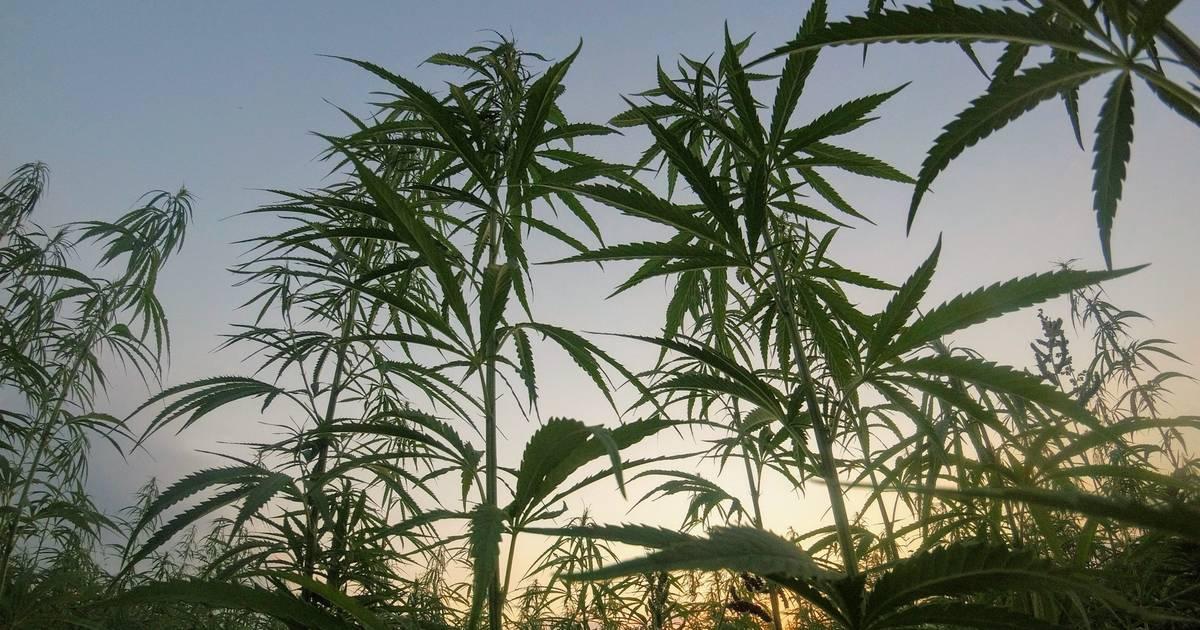 Die USA legalisiert den Anbau von Nutz-Hanf