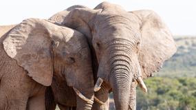 Liczba słoni afrykańskich gwałtownie spadła