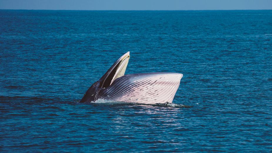 Wieloryb połknął 56-latka w USA