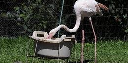 Flamingi plażują nad wodą