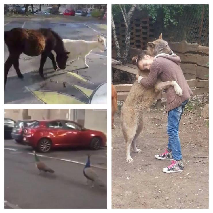 životinje koje su šetale beogradskim ulicama, konj, koza, paun, vučica Coka