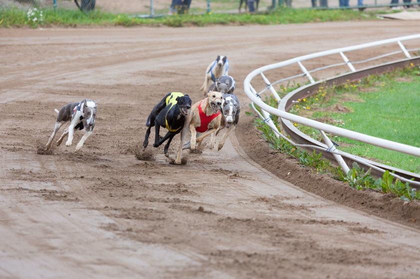 Wyścigi chartów –wstrząsający raport. Uśpili tysiące psów