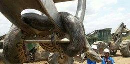 Ten wąż ma 10 metrów. Zobacz film