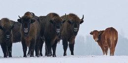 Krowa na gigancie zagraża żubrom!