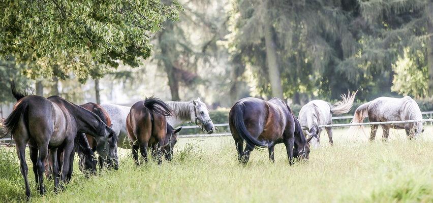 Stadnina koni w Janowie wydzierżawiła bezcenną klacz i... tyle ją widziano!