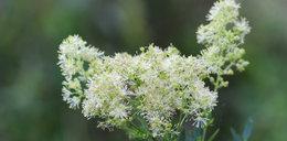 Kojarzysz tę roślinę? Działa lepiej niż aspiryna!
