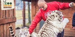 Szpilka zwariował? Bawił się z tygrysami!