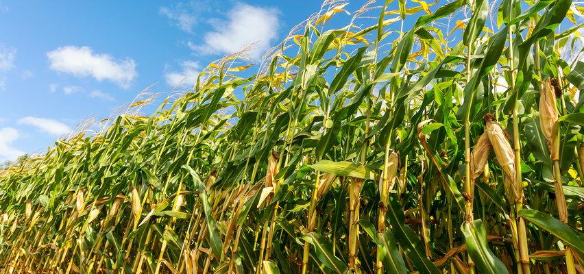 Horror na polu kukurydzy. Maszyna wciągnęła rękę mężczyzny