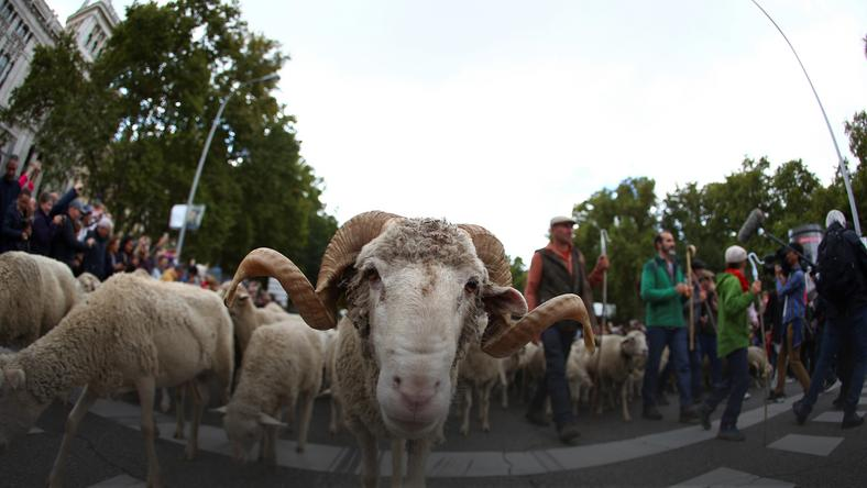 epa07936388 - SPAIN TRANSHUMANCE (26th Transhumance Festival in Madrid)