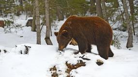Niedźwiedzie w Bieszczadach przebudziły się ze snu zimowego