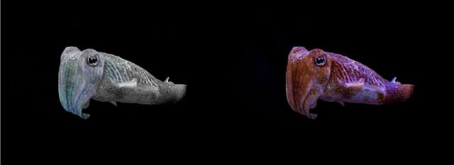 Oktopod vidi crno-beli svet