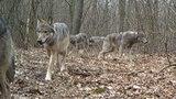 Mieszkańcy przedmieść Poznania w trwodze. Alarmują, że w okolicy grasuje wataha wilków. Naliczyli osiem porwanych psów!