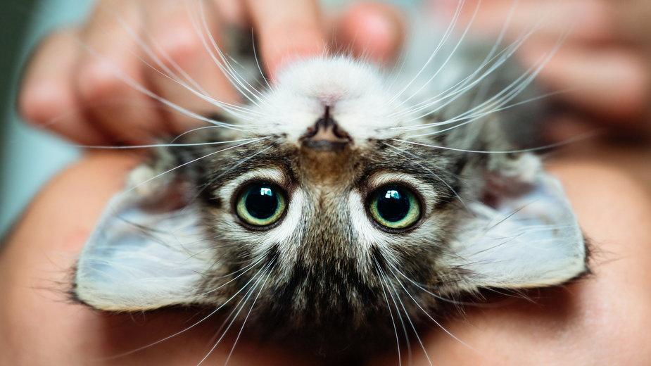 Niektóre zachowania kotów są zadziwiające - Uzhursky/stock.adobe.com