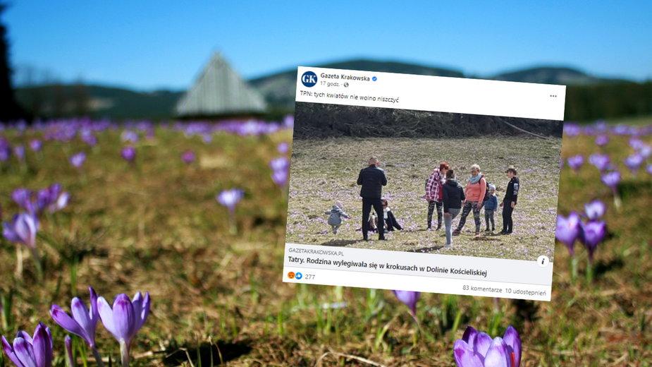 Turyści wylegiwali się na krokusach w Tatrach