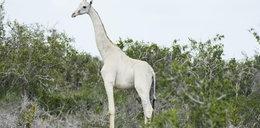 Niecodzienny widok! Sfotografowano dwie białe żyrafy