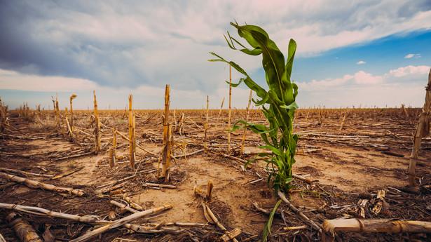 Uprawy zniszczone suszą