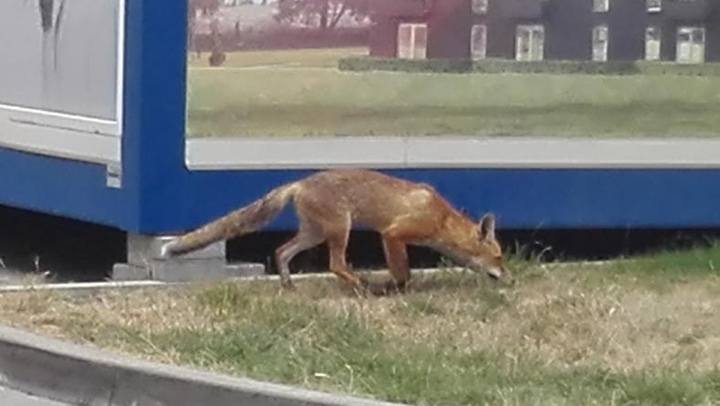 Zwierzę przemierza ulice Krakowa. Było już widziane przez wielu mieszkańców