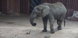 Szesnaste urodziny słonia Ninio
