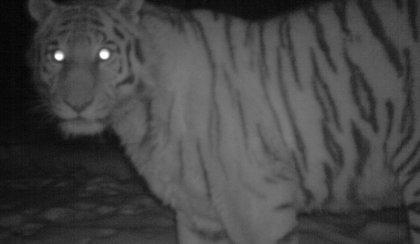 Chińczycy oskarżają Putina: Wypuścił tygrysa, które zabija nasze kozy