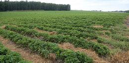 Gwałty i poniżanie na farmach truskawek. To koszmar, co tam się dzieje