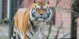 Impreza urodzinowa u... tygrysa. Zobacz zdjęcia!