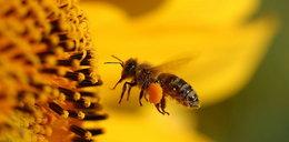 Pszczoły zamieszkają... w hotelach