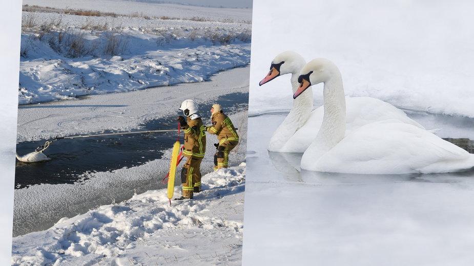 Strażacy ratowali łabędzie w wielu miejscach