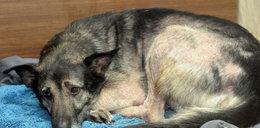 Uwaga! TVN: Ponad 60 skrajnie zaniedbanych psów na jednej posesji. Właścicielka: To był ich raj