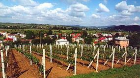 Dni otwarte winnic w Lubuskiem