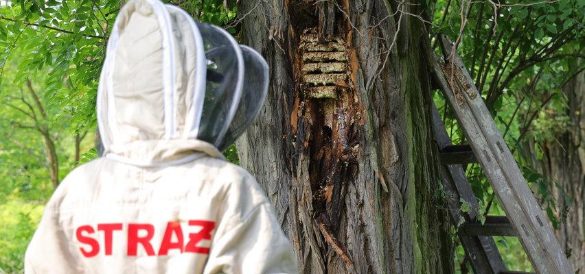 Strażacy to nie pszczelarze ani owadobójcy. Co drugi wyjazd w Łódzkiem pszczoły, osy i szerszenie. Czy od tego jest straż pożarna?