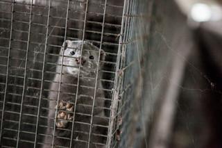 Minister Jurgiel broni hodowli zwierząt futerkowych. Ale argumenty ma słabe [Polemika]