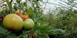 Polsko-Czesko wojna o szklarnię na pomidory