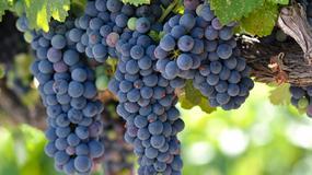 Jak podcinać winorośl?