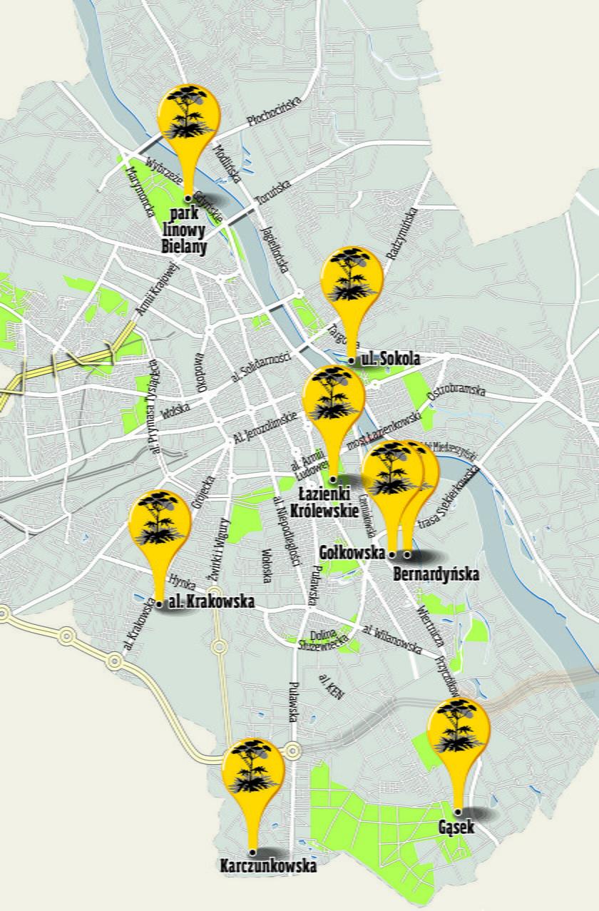 Uwaga mieszkańcy! Tutaj rośnie trujący Barszcz Sosnowskiego
