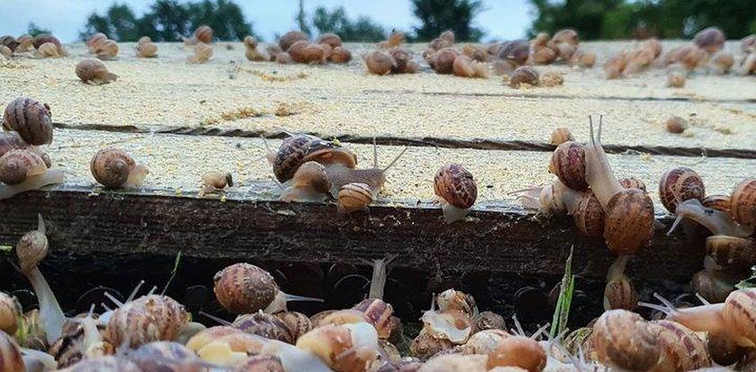 Przez ślimaki rolnicy tracą krocie!