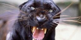 Chciała zrobić sobie selfie z jaguarem. Cudem przeżyła