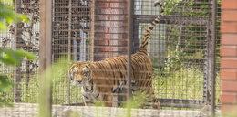 Miał w domu kilkaset zwierząt, w tym tygrysy. Wielka akcja policji pod Śremem