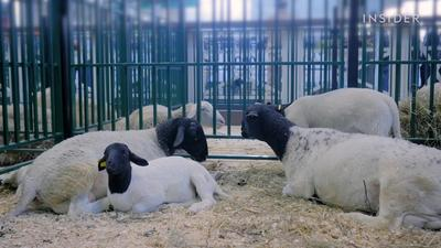 How farmers in New Zealand shear 25,000 sheep in 10 days