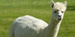 Alpaki pomogą dzieciom z problemami natury psychicznej
