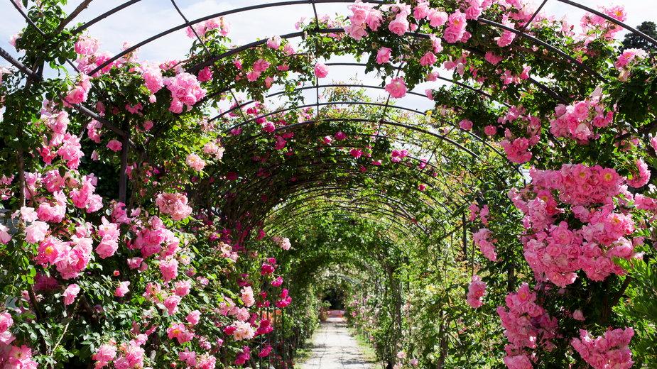 Róże pnące wyglądają bardzo efektownie - TTLmedia/stock.adobe.com