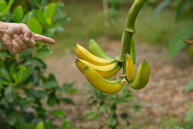 Banane mogu da rastu i u Surčinu (ilustracija)