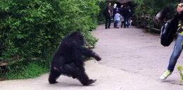 Małpy zaatakowały dziewczynkę
