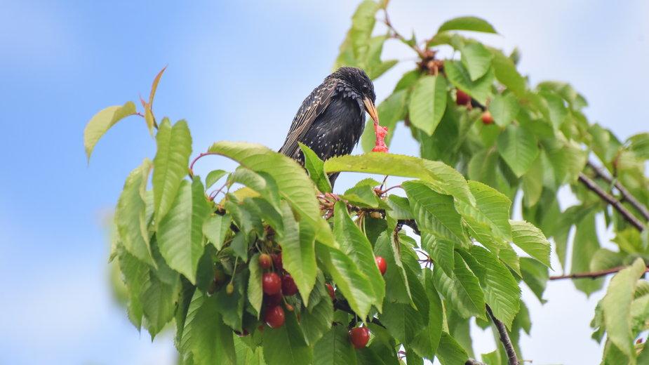 Ptaki często wyjadają owoce z przydomowych ogrodów - Ivan/stock.adobe.com