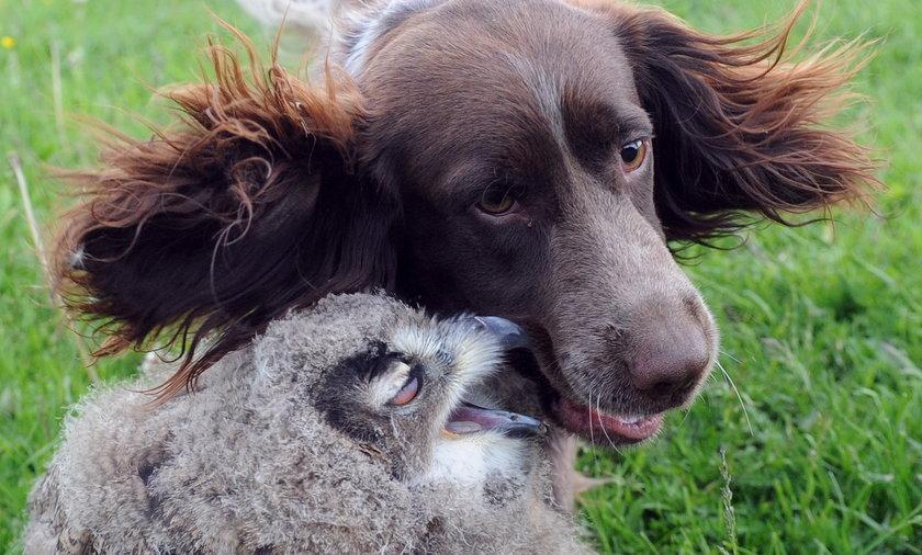 Sowa zaprzyjaźniła się z psem w Kadzidłowie na Mazurach