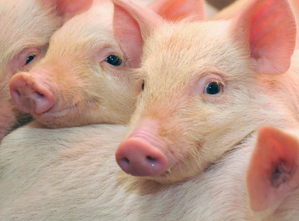 ASF sprawiło, że małe gospodarstwa zajmujące się hodowlą trzody chlewnej niemalże przestały istnieć.
