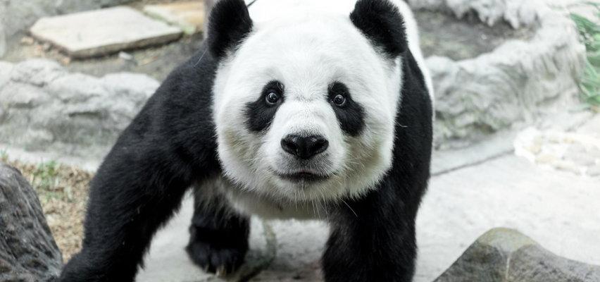 Waszyngton pod śniegiem. Zadowolone dzieci i... panda. FILM
