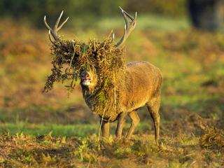 BAD HAIR DEER / BAD HAIR DEER /1435745
