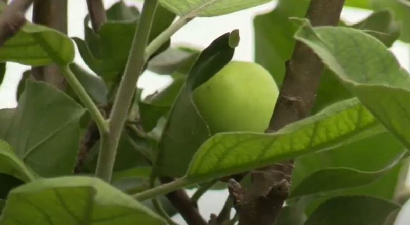 Another 'apple' tree discovered in Ghana(video)