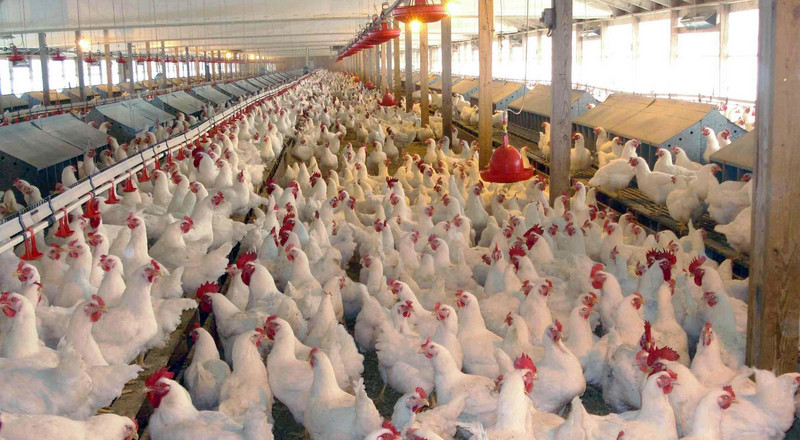 Ever thought of starting poultry business on a small scale? Here's how