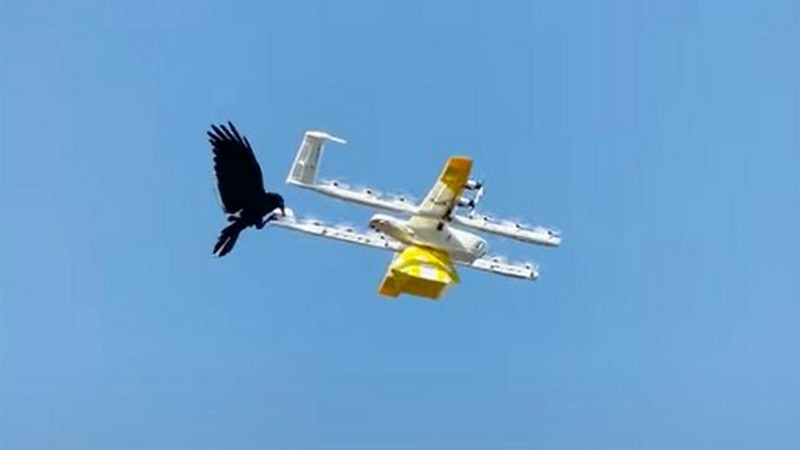 Kruk zaatakował drona dostawczego w Australii. Zobacz nagranie